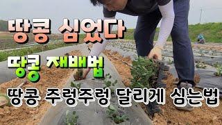 땅콩 재배법 심는시기 땅콩 주렁주렁 달리게 하는법