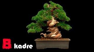 Семена дерева бонсай из Китая(, 2015-09-17T15:59:14.000Z)