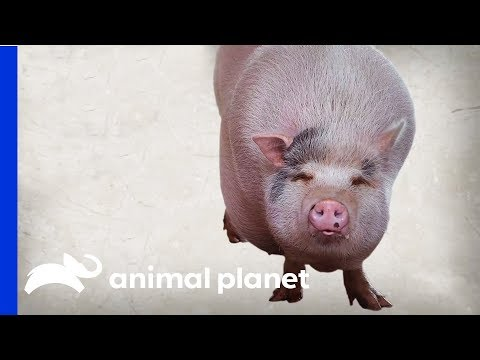 Baby The Pot-Bellied Pig Struggles To Drop His Extra Weight | My Big Fat Pet Makeover