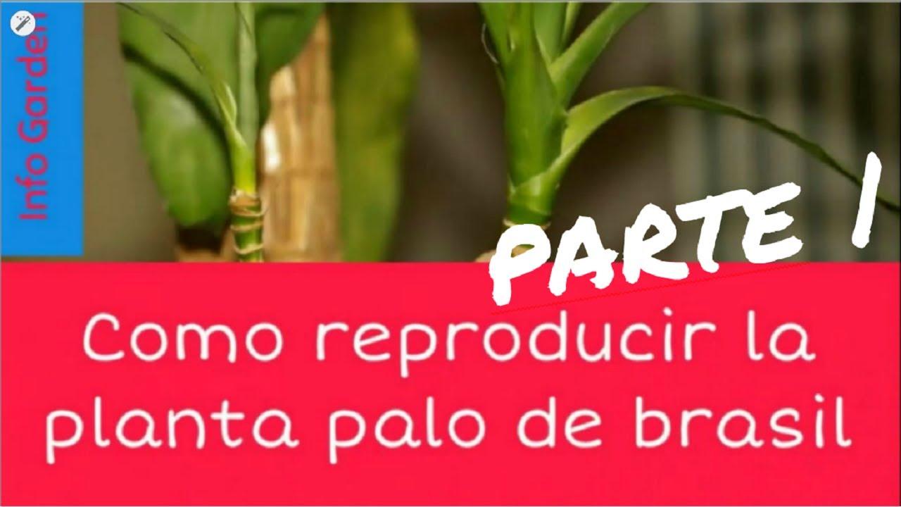 Como reproducir la planta palo de brasil cuidado del palo de brasil parte 1 youtube - Como se planta el bambu ...