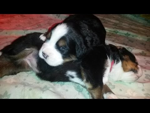 Bernese mountain dog puppies 12 days old