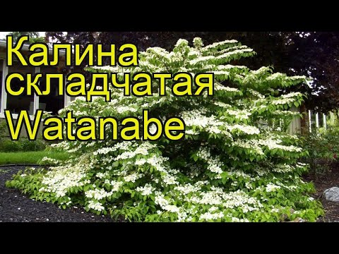Калина складчатая Ватанбэ. Краткий обзор, описание характеристик viburnum plicatum Watanabe