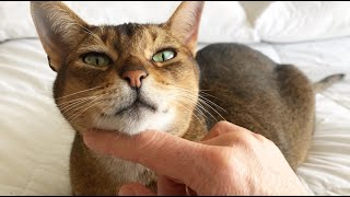 Abyssinian cat purring