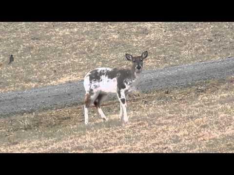Piebald Deer at Chantilly Farm, Floyd, VA