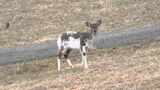 piebald deer at chantilly farm floyd va
