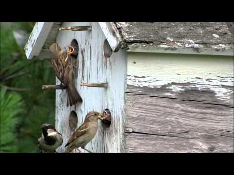 House Sparrow Feeding Babies
