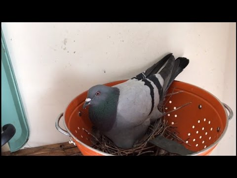 Pigeon Mom-To-Be Nests Her Eggs In Pasta Strainer at Woman's Apartment