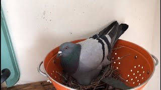 Pigeon Mom-To-Be Nests Her Eggs In Pasta Strainer at Woman