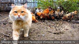 #1 Siberian Farm cats and Rooster Кот да петух, Сибирские кошки и Павловские куры