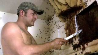 Extreme Honey Bee Hive removal- Exposed Hive in McAllen,TX by Luis Slayton of Bee Strong Honey  5