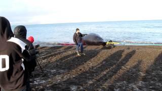 Barrow whalers pull Bowhead whale ashore