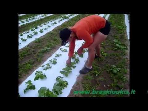 Braškių sodinimas