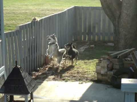 squirrel teases dogs