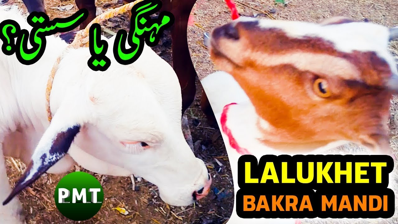 Lalukhet Bakra Mandi 21 Oct 2018 Latest Price Updates of Lalukhet Livestock  & Cattle Market Karachi