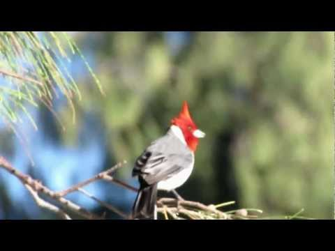 Red Crested Cardinal at Kailua Beach in Hawaii
