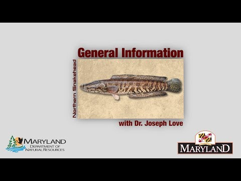 Northern Snakehead - General Information - Maryland Department Of Natural Resources