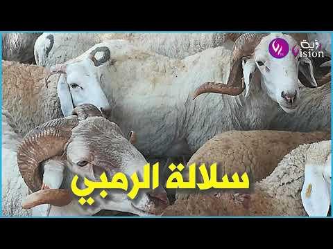 تعرف على سلالات الكباش الأكثر طلبا في الجزائر