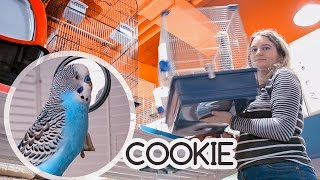 Getting Budgie a new Home | Cookie is happy