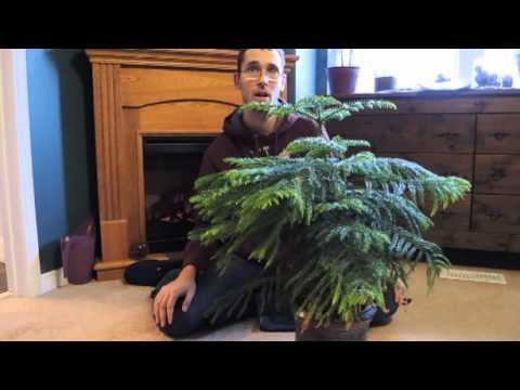 Growing Norfolk Island Pine