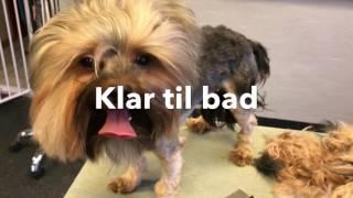 Sparky - en filtret Yorkshire Terrier 2.del