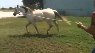 Gray horse trotting soundly in August 2013