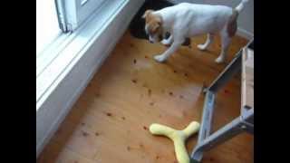 愛犬ジャムと虫との闘いです。