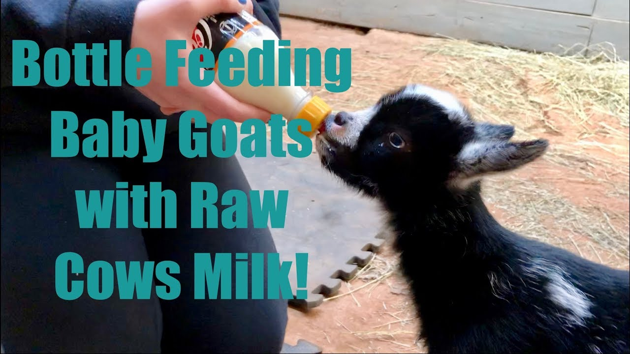 Feeding BABY GOATS with Fresh Raw Cows Milk makes them Jump for Joy!