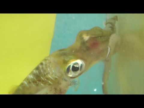 泳ぐイワシを捕えるアオリイカの瞬間映像
