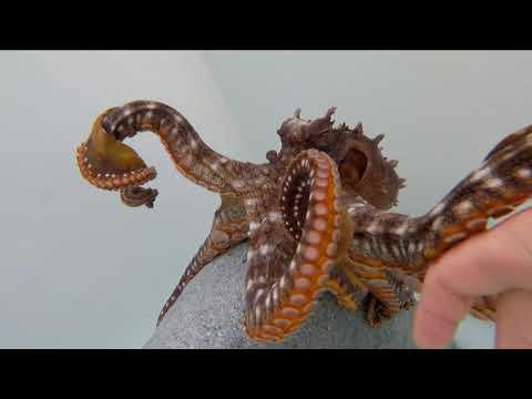 Kanola Octopus Farm - Big Island Hawaii