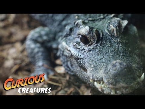 Dwarf Crocodile | Curious Creatures