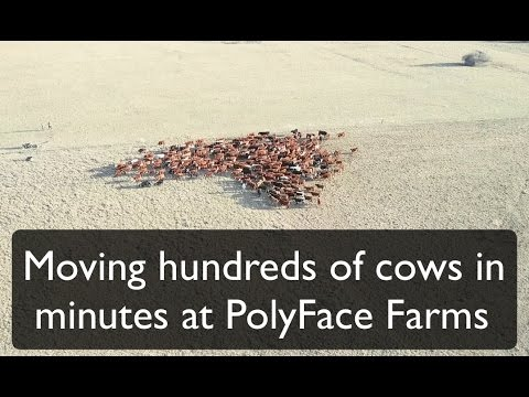Moving hundreds of cows in minutes at Polyface Farms