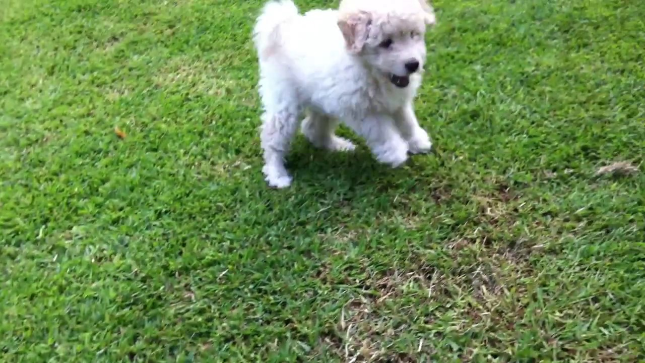 Cutest Puli Puppy Ever Youtube