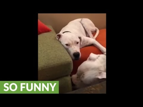 Annoying puppy humorously irritates other dog
