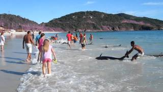 30 Dolphins stranding and incredibly saved! Extremely rare event!