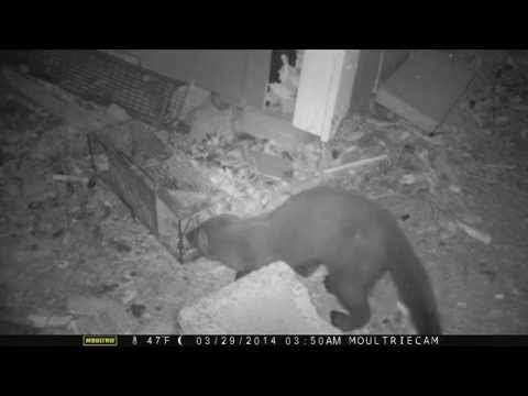 Fisher Cat Caught On Game Cam