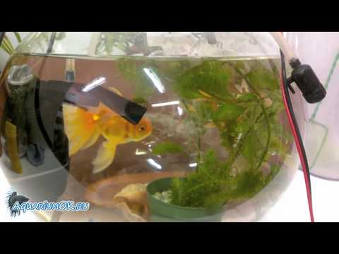 Золотые рыбки в круглом аквариуме. Как правильно содержать золотых рыбок?