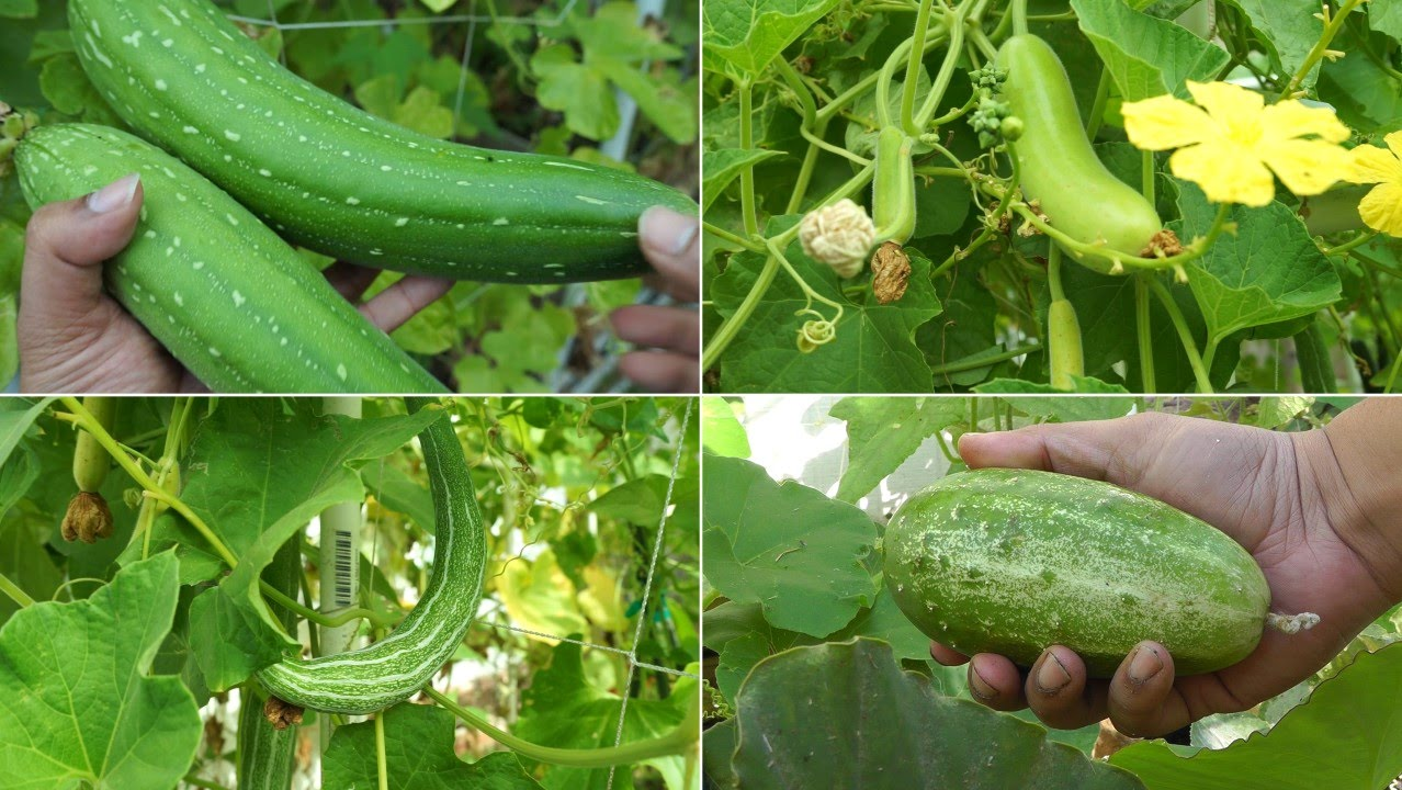 growing gourds part 1 of 5 introduction to gourds youtube