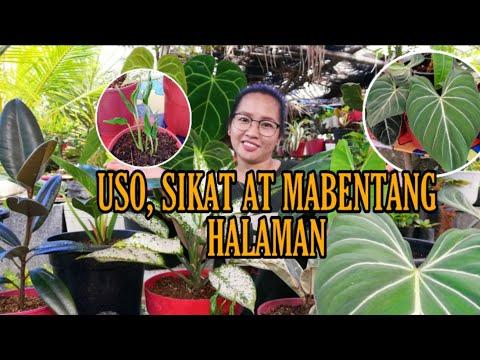SIKAT, USO AT MABENTANG HALAMAN SA PANAHON NGAYON|MOST POPULAR PLANTS|Grace J. M