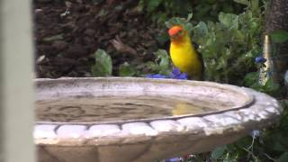 young european starlings bird bath & pretty yellow western tanager