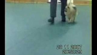 WOLFIE POMERANIAN IN TRAINING CLASS