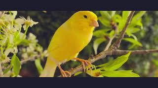 Śpiew kanarka. Odgłos kanarka. Kanarek śpiewa. Kanarek samica śpiew. Gloster śpiew. Canary singing
