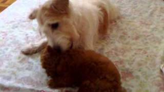 Toy Poodle vs Jack Russell