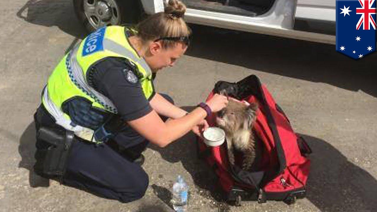 australian bushfire  koala rescued after lying unresponsive on the road - tomonews