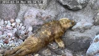 Fokarium w Helu na żywo / Webcam - Szczenię Ewy 1