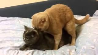 «Смотреть приколы про животных  Дикий крик! Кот попал, видимо, не в ту дырку  Приколы про животных»