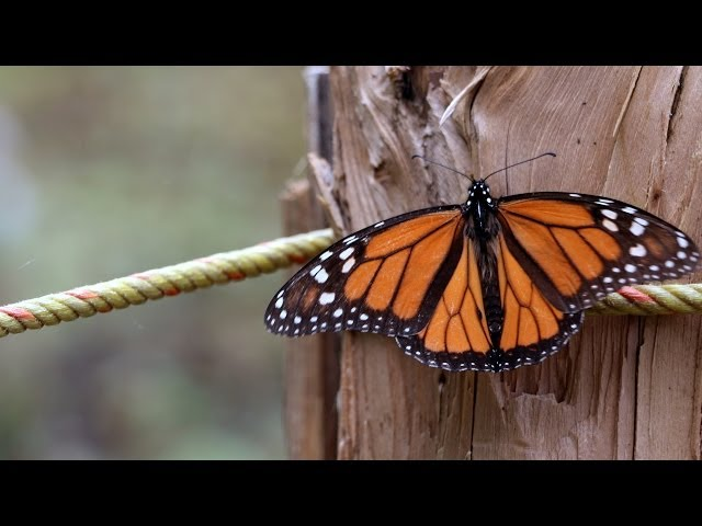 Mariposa Monarca - Santuario El Rosario - Ocampo Michoacán Videos De Viajes
