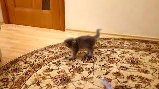 Смешные кошки! К нам забежал соседский котёнок ! Funny cats!