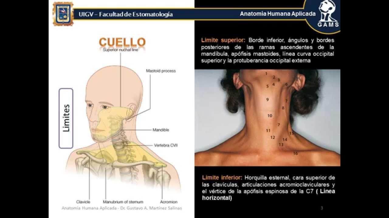 Cuello; Anatomía Humana Aplicada_UIGV1 - YouTube