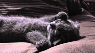 Скоттиш Фолд - порода кошек