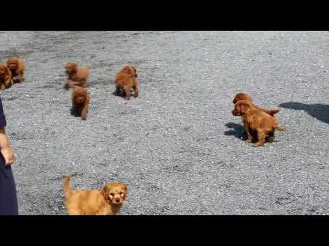 Miniature Goldendoodle Puppies For Sale David Stoltzfus